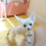 Adorable male fennec fox