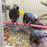 AFRICAN GREYS PARROTS FOR SALE