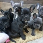 male and female Blue french bulldog puppies